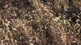 Asciughi l'erba alta invasa di pampa che soffia nel vento stock footage
