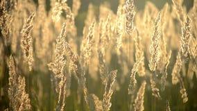 Asciughi l'erba lanuginosa con il primo piano brillante del sole archivi video