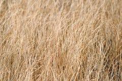 Asciughi l'erba sbiadita Immagini Stock