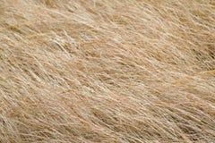 Asciughi l'erba sbiadita Immagine Stock Libera da Diritti