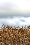 Asciughi le canne marroni contro un fondo del cielo nuvoloso Fotografie Stock