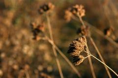 Asciughi le erbe sul tramonto immagini stock