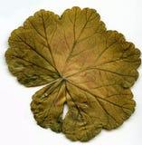 Asciughi le foglie fotografie stock