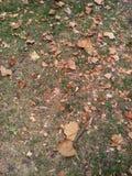 Asciughi le foglie Immagine Stock