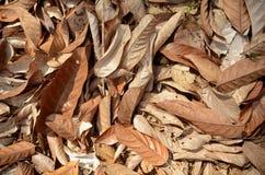 Asciughi le foglie Immagini Stock