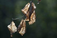 Asciughi le foglie di un albero di faggio Immagine Stock