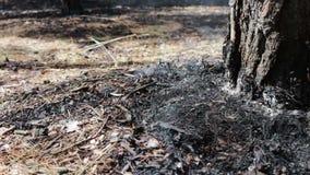 Asciughi le foglie e gli aghi fumano sotto l'albero nella minaccia della foresta di incendio forestale stock footage