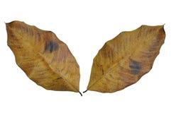 Asciughi le foglie isolate su fondo bianco Immagini Stock