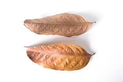 Asciughi le foglie su fondo bianco fotografia stock libera da diritti