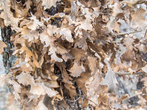 Asciughi le foglie sull'albero Immagine Stock