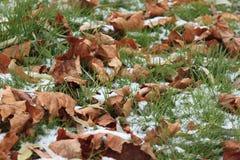 Asciughi le foglie sull'erba isolata dalla neve in parco fotografia stock