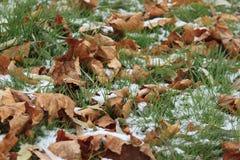 Asciughi le foglie sull'erba verde isolata dalla neve in giardino immagine stock libera da diritti