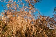 Asciughi le foglie sulle piante contro cielo blu Fotografie Stock