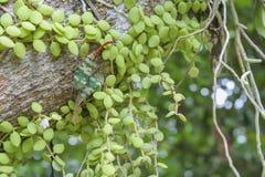 Asclepiadaceae с 2 насекомыми и орхидеями корня на дереве стоковые изображения