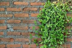 Asclepiadaceae nummularia Dischidia и кирпичная стена стоковое изображение