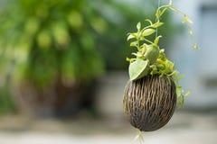 Asclepiadaceae, pectinoides Peari Dischidia Стоковая Фотография RF