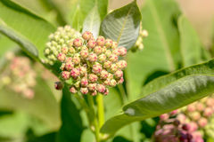 Asclepias Buds Stock Photo