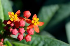Asclepias curassavica. Royalty Free Stock Image
