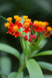 Asclepias curassavica Royalty Free Stock Photo