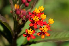Asclepias curassavica flower Royalty Free Stock Photos