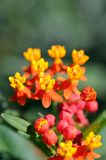 Asclepias curassavica. (Red Butterfly) Stock Photo