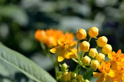 Asclepias curassavica. (Silky Gold) Stock Photo