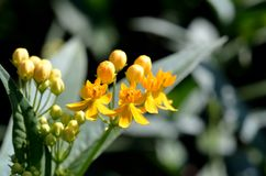 Asclepias curassavica. (Silky Gold) Royalty Free Stock Image