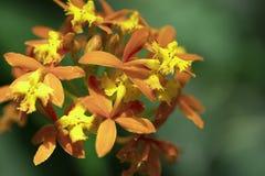 Asclepias Curassavica Zamyka w górę makro- strzału tropikalny trojeść kwiat zdjęcia stock