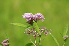 Asclepias syriaca ,Milkweed American important for monarchs royalty free stock photo