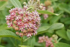 Asclepias syriaca and working bees Stock Image