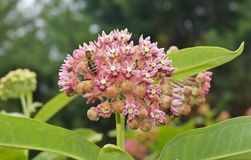 Asclepias syriaca and working bees Royalty Free Stock Photos