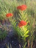 Asclepias Tuberosa Flowers. Stock Photography