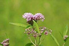 Asclepiassyriaca, Milkweed Amerikaan belangrijk voor monarchen royalty-vrije stock foto