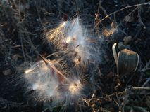 Asclepius Curassavica Plant Seedpod con las semillas durante puesta del sol en la caída Fotos de archivo libres de regalías