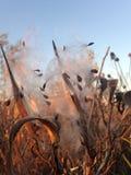 Asclepius Curassavica Plant Seedpod con las semillas durante puesta del sol en la caída Foto de archivo