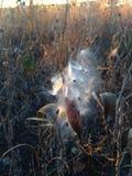 Asclepius Curassavica Plant Seedpod con las semillas durante puesta del sol en la caída Imagen de archivo
