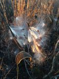 Asclepius Curassavica Plant Seedpod mit Samen während des Sonnenuntergangs im Fall Lizenzfreie Stockfotos