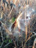 Asclepius Curassavica roślina Seedpod z ziarnami podczas zmierzchu w spadku Zdjęcie Stock