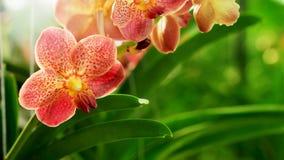 Ascocenda与软的焦点的兰花花在泰国农厂庭院背景中 免版税库存图片