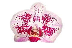 Ascocenda Hybrid orchid flower Stock Image