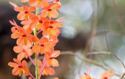 Ascocentrum miniatum. Zdjęcie Royalty Free