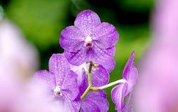 Ascocentrum orchidea Fotografia Royalty Free