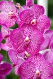 Ascocentrum orkidé Royaltyfri Foto