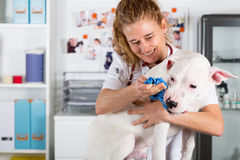 Ascoltando un cane Dogo veterinario Argentino Fotografia Stock Libera da Diritti