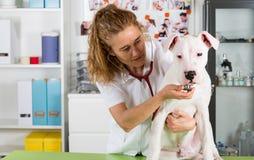 Ascoltando un cane Dogo veterinario Argentino Immagine Stock Libera da Diritti