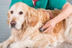 Ascoltando un dorato veterinario del cane Fotografia Stock Libera da Diritti