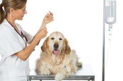 Ascoltando un dorato veterinario del cane Immagini Stock