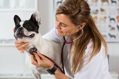 Ascoltando un francese veterinario del bulldog del cane Immagini Stock