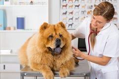 Ascoltando un veterinario Chow Chow del cane Fotografia Stock
