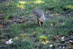 Ascolto dello scoiattolo Fotografie Stock